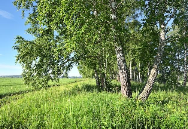Matin d'été dans le domaine bouleaux parmi l'herbe épaisse au bord d'un champ agricole