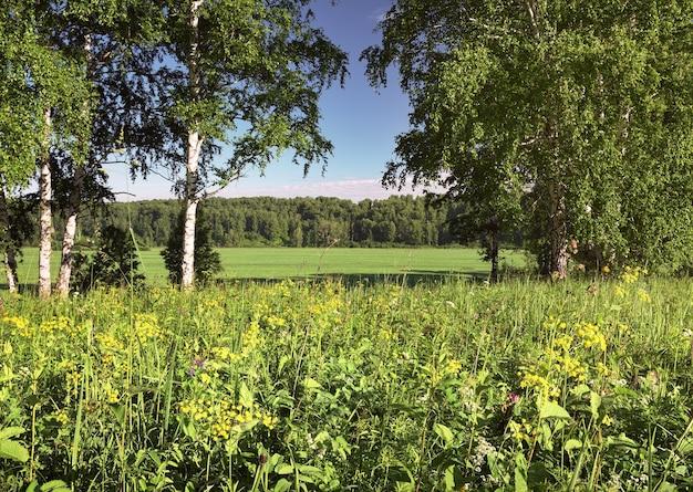 Matin d'été dans le domaine herbe épaisse et fleurs sauvages dans les bouleaux de prairie