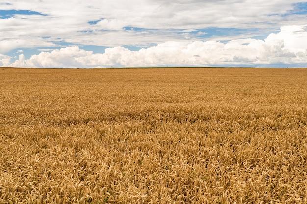 La maturation des épis de champ de blé des prés