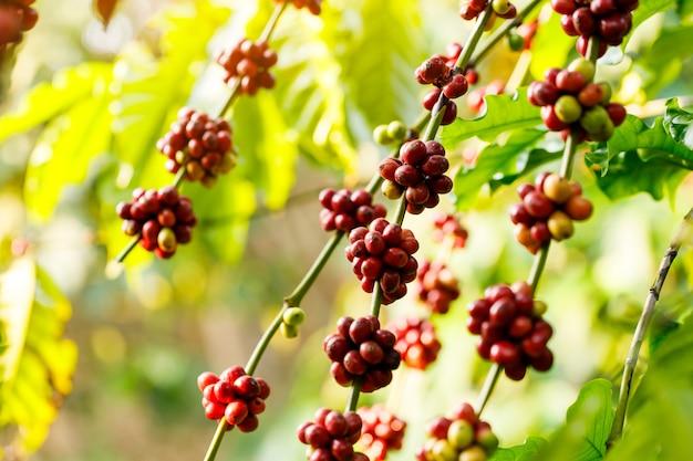 La maturation des grains de café robusta sur arbre dans le nord de la thaïlande