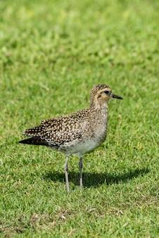 Maui, hawaï. pluvier doré du pacifique, pluvialis fulvanon en plumage nuptial.