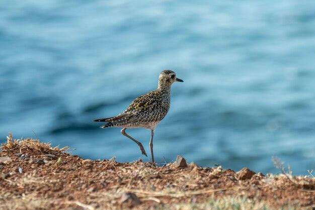 Maui hawaii un kolea ou pluvier doré du pacifique pluvialis fulva debout sur la rive de l'océan pacifique en plumage non nuptial