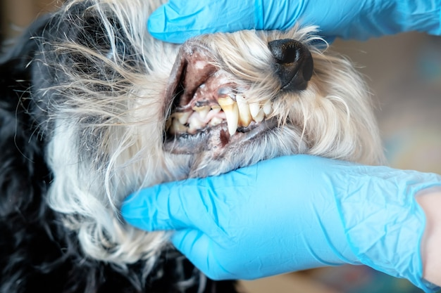 Médecin examine les dents d'un chien, tartre de chien