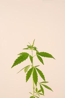 Médecine douce. plante de cannabis sur fond beige. espace de copie