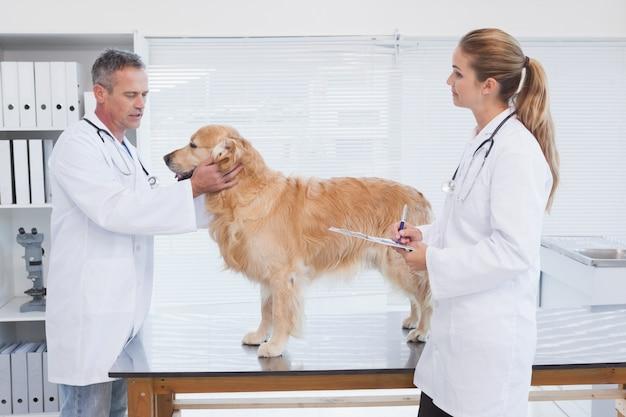 Médecins vérifiant sur un labrador