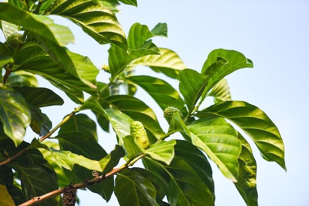 Médicaments à base de fruits de noni, noni frais sur arbre autres noms grand morinda, mûrier de plage