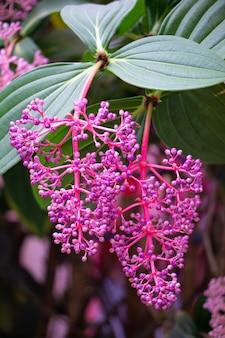 Medinilla speciosa à cameron highland - ville de fleur