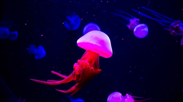 Méduse au néon transparent brillant dans l'aquarium