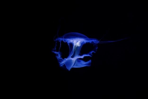Méduse sous l'eau, méduse, animal marin dans l'eau, couleur bleue