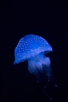 Méduse tachetée australienne