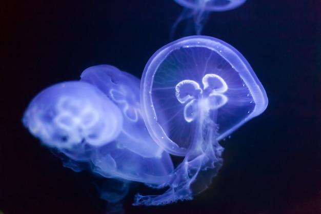Méduses dans l'eau