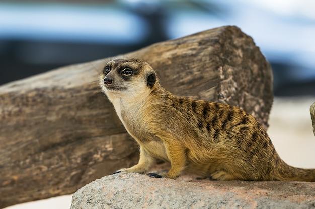 Meerkat dans la nature