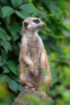 Meerkat debout dans la jungle