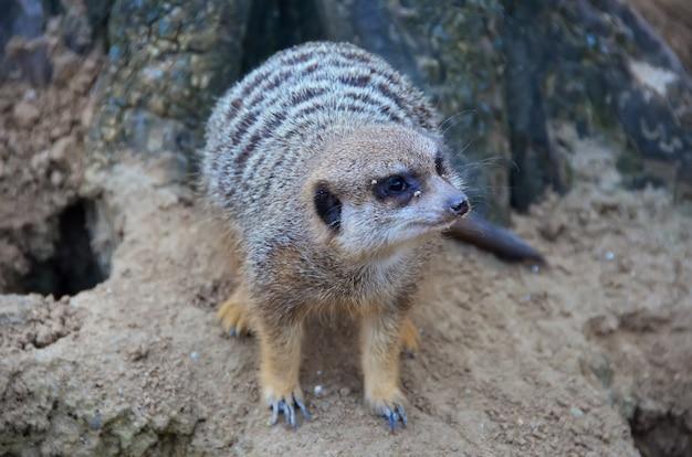 Meerkat debout sur un rocher