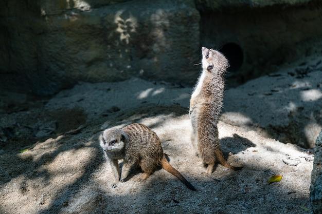 Meerkat est debout. c'est un animal sceptique. il faut le respecter.