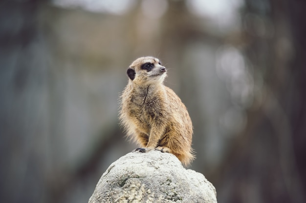 Meerkat sur une pierre.