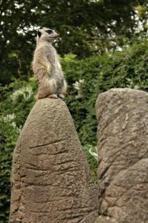 Meerkat sur ses gardes