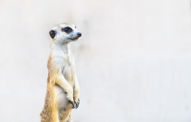 Meerkat suricata suricatta, animal originaire d'afrique,