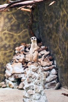 Meerkat surikate trouvé dans le zoo de melbourne