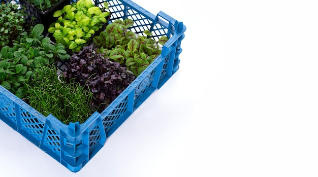 Mélange de légumes verts dans des bacs de culture dans une boîte sur fond blanc. micropousses d'oignon, basilic et radis, livraison de micropousses.