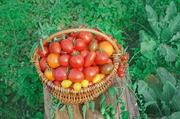 Mélange de tomates dans un panier sur une table en bois. arrangement de tomates colorées dans un grand panier tricoté