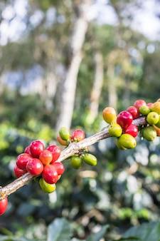 Mélanger les cerises de café rouges et verts sur la branche de café