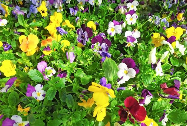 Mélanger la différence de couleur de la fleur de pensée, l'alto