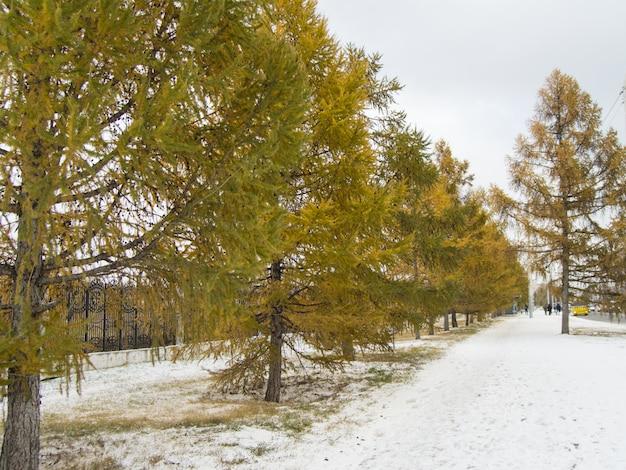 Mélèze aux aiguilles jaunes poussent le long de la clôture dans le parc