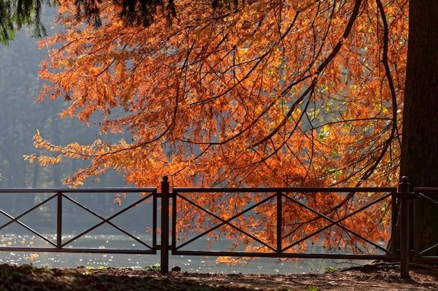 Mélèze spectaculaire au bord du lac de parco di monza italie