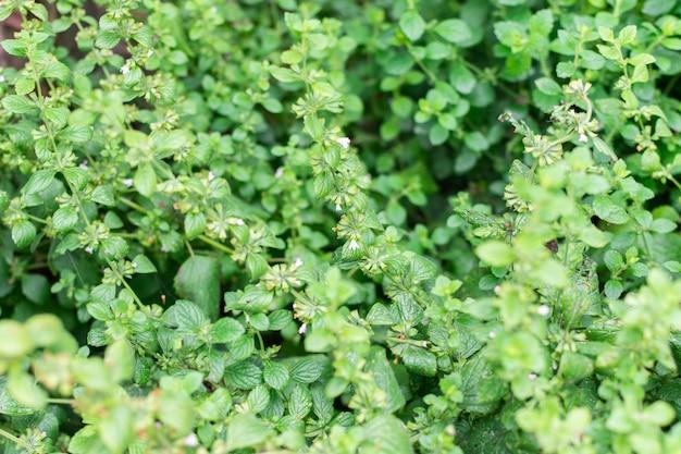Mélisse ou mentha, buisson de menthe mélisse avec des fleurs, herbes vivaces aromatiques