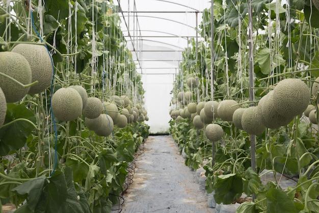 Melon dans le jardin à la maison sans pesticides.