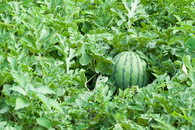 Melon d'eau dans la plantation verte de melon d'eau en été, champ agricole de melon d'eau