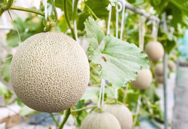 Melons cantaloups poussant dans une serre soutenue par des filets à melons à cordes (mise au point sélective)