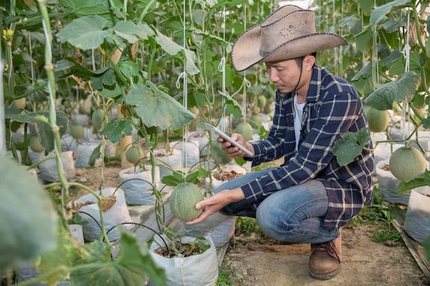 Des melons dans le jardin, un homme yong tenant un melon dans une ferme à melons en serre.