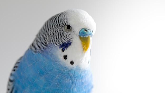 Melopsittacus undulatus. perroquet ondulé bleu sur mur clair, portrait, gros plan.