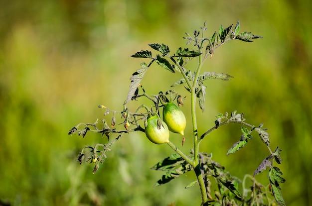 Même les tomates vertes poussent dans le jardin