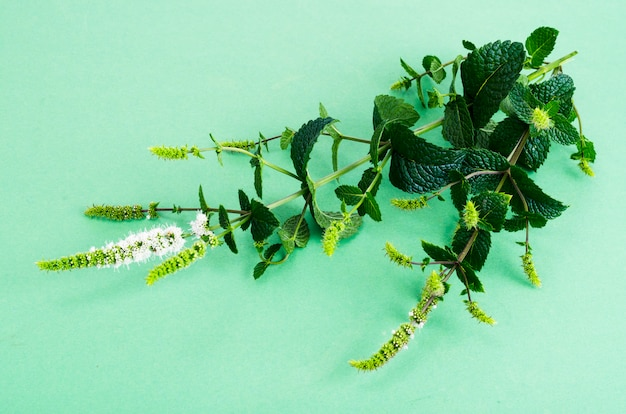 Menthe poivrée. menthe herbe avec des fleurs se bouchent.
