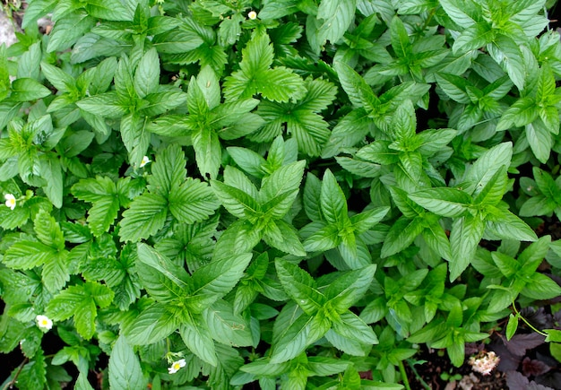 Menthe verte dans le jardin d'été