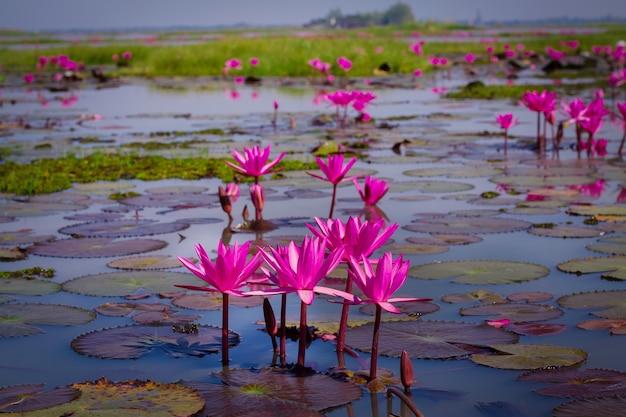 Mer de lotus rose et rouge à udonthani en thaïlande (invisible en thaïlande)
