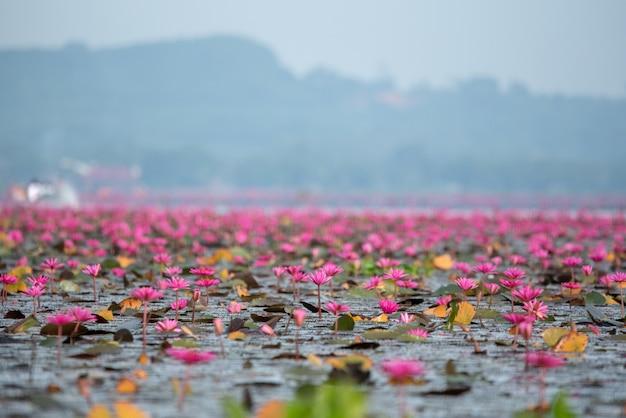 Mer lotus rouge