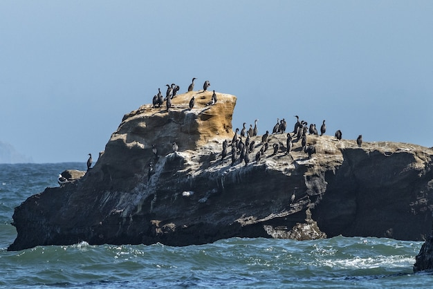 Mer ondulée et cormorans noirs à pattes rouges sur la colline rocheuse