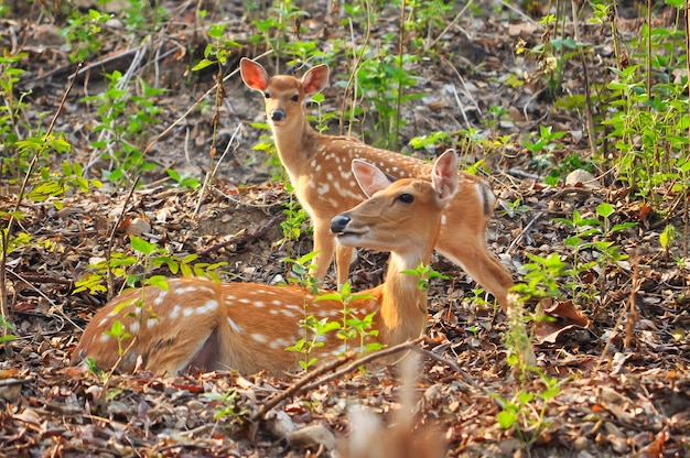 Mère et bébé cerf japonais