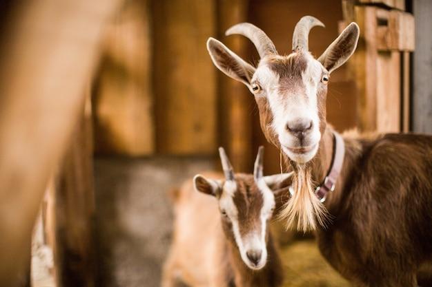 Mère et bébé chèvres marron et blanc à l'intérieur d'une grange