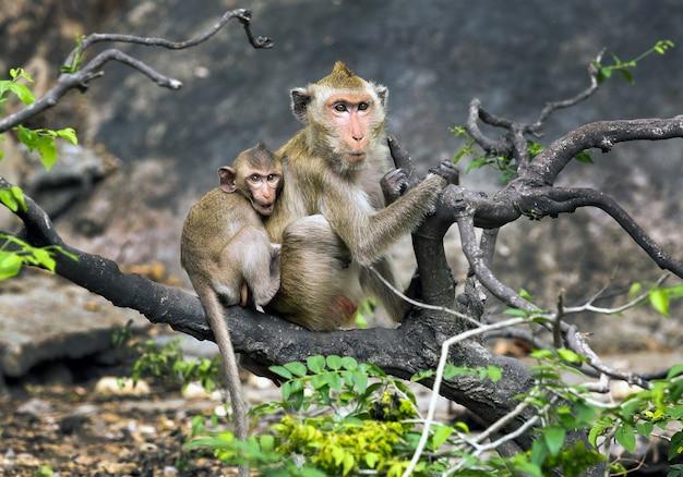 Mère et bébé singes à l'état sauvage.