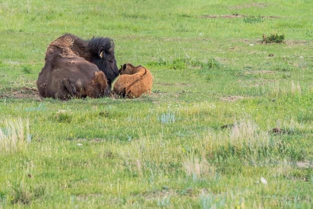 Une mère bison des plaines fixant son bébé veau dans un pâturage