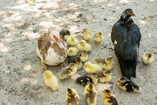 Mère canard avec ses canetons. il y a beaucoup de canetons qui suivent la mère