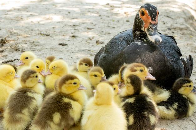 Mère canard avec ses canetons. il y a beaucoup de canetons qui suivent la mère.