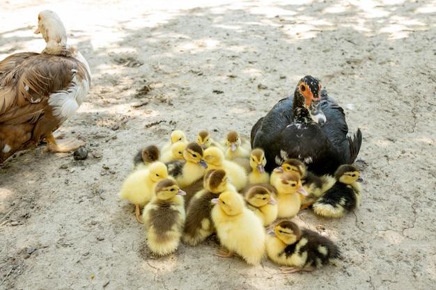 Mère canard avec ses canetons