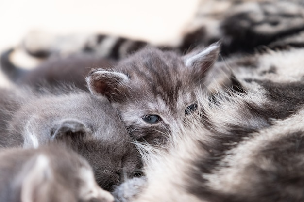Mère chat allaitant ses chatons