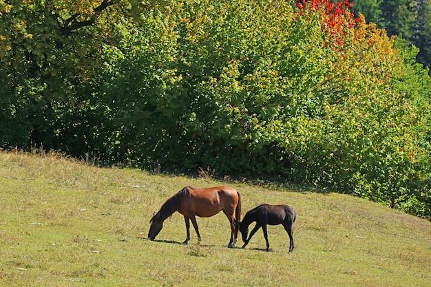 Mère cheval et bébé cheval ornant sur le versant de la montagne de mestia highland dans la région de svaneti en géorgie